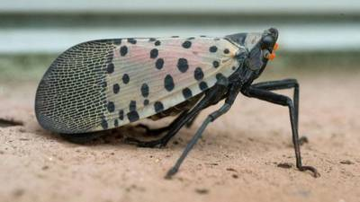 Staying vigilant for the spotted lanternfly around Pittsburgh as fall approaches